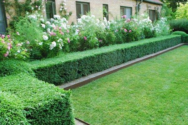 Какие растения лучше выбрать для живой изгороди на участке, виды вечнозелёных кустарников