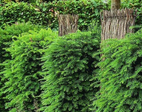 Живая изгородь: 12 образов для зеленого забора на участке