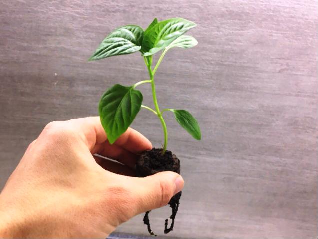 Когда сажать перец на рассаду в 2020 году в Подмосковье, чтобы она выросла крепкой