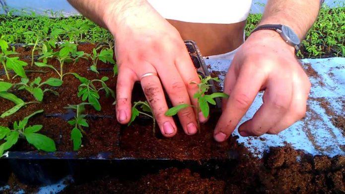 Когда пикировать помидоры на рассаду в 2020 году по лунному календарю: благоприятные дни в конце марта и апреле