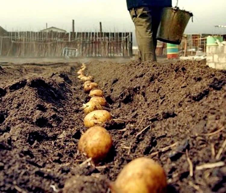 Лунный посевной календарь на апрель 2020 года - посадка картошки