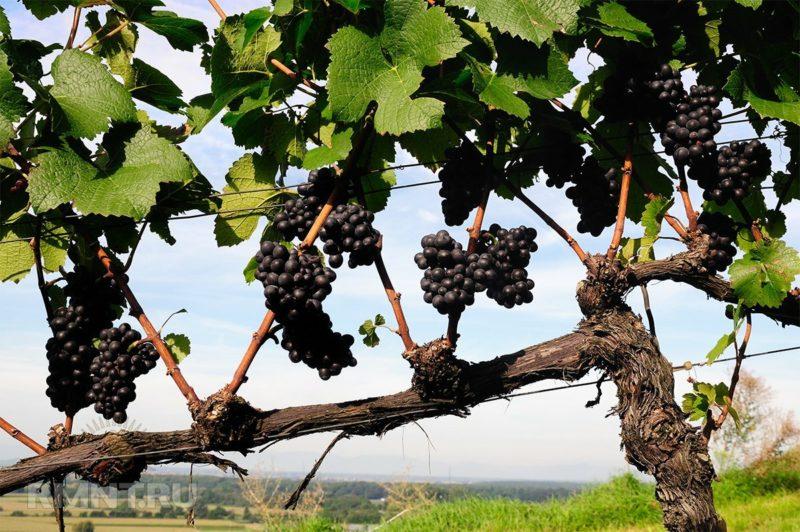 Как правильно и чем обработать виноград от болезней и вредителей весной после открытия