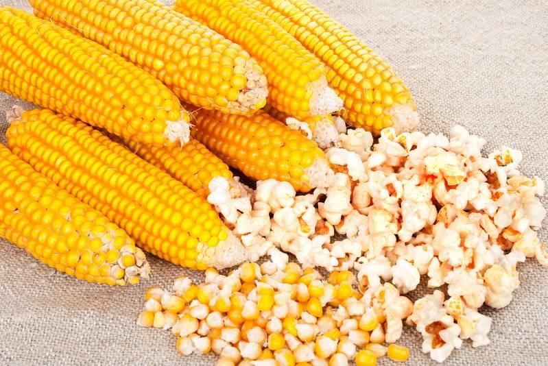 Как отличить кормовую кукурузу от пищевой и сферы применения обоих видов